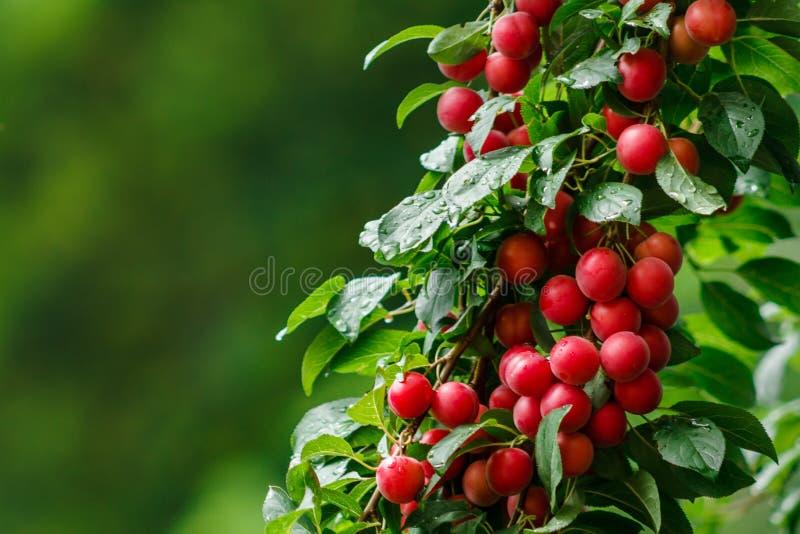 Плодоовощи красной сливы вишни в саде после утра идут дождь стоковое фото