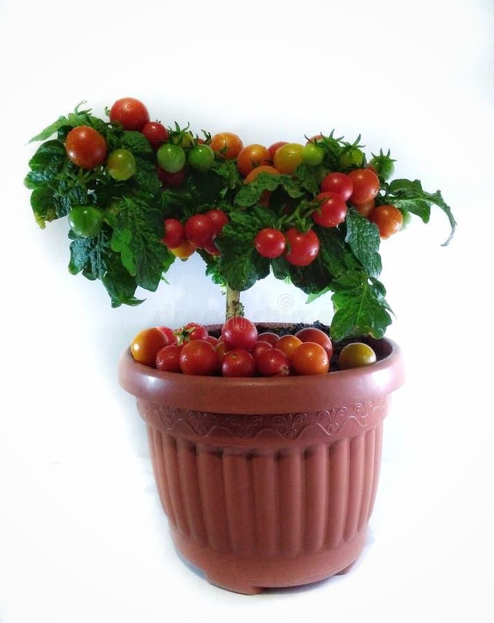 Плодоовощи томата дерева стоковые изображения