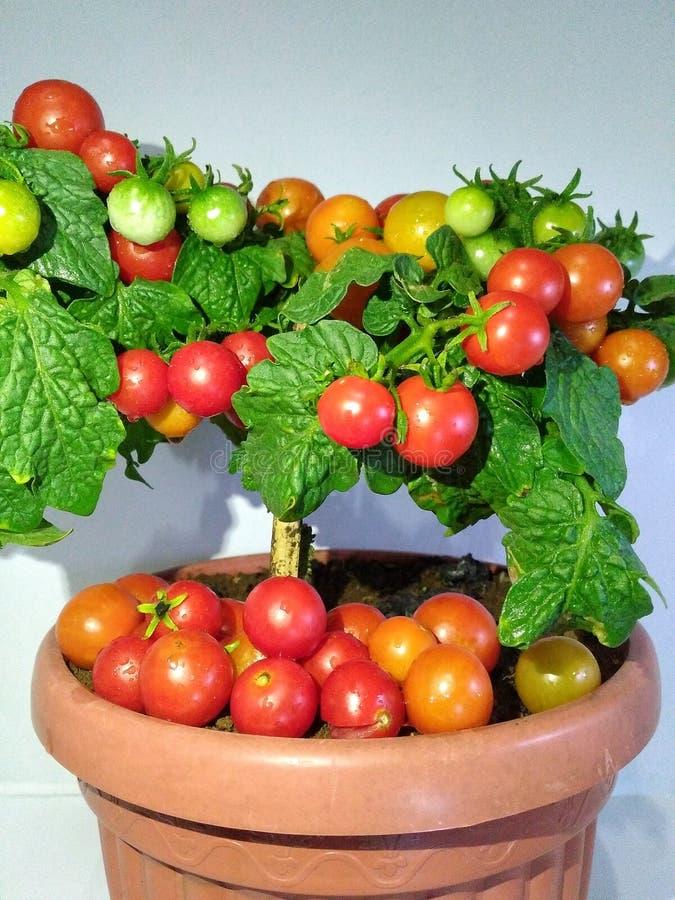 Плодоовощи томата стоковое фото