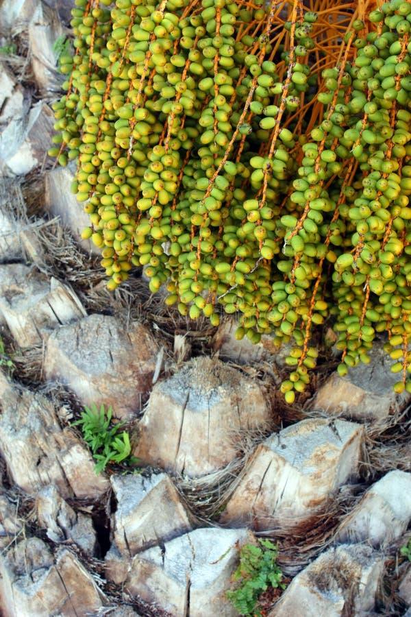 Плодоовощи финиковой пальмы стоковые изображения