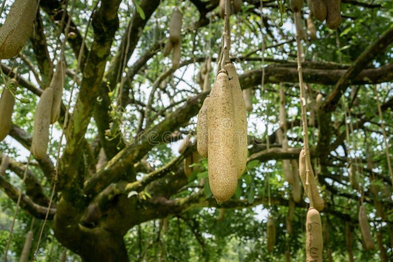 Плодоовощи africana Kigelia дерева сосиски вися в дереве стоковое изображение