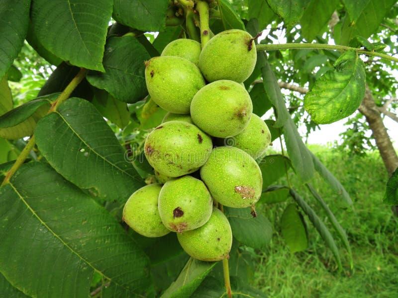 Плодоовощи Manchurian mandshurica juglans грецкого ореха зрелые на дереве стоковые фотографии rf