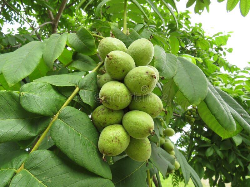 Плодоовощи Manchurian mandshurica juglans грецкого ореха зрелые на дереве стоковое фото rf