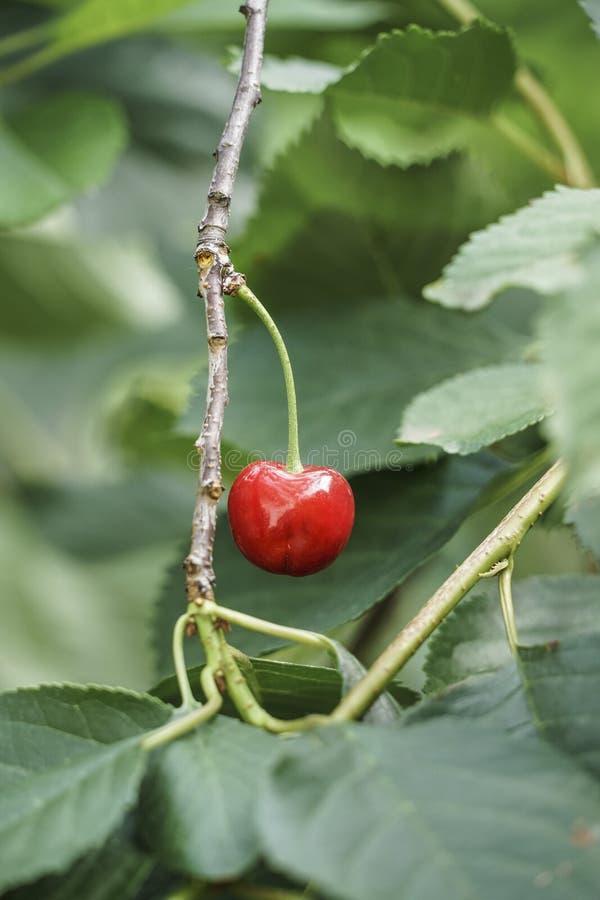 Плодоовощ вишни на дереве стоковое изображение