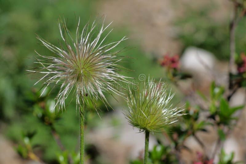 Плодоовощ высокогорного pasqueflower или высокогорной ветреницы стоковые изображения