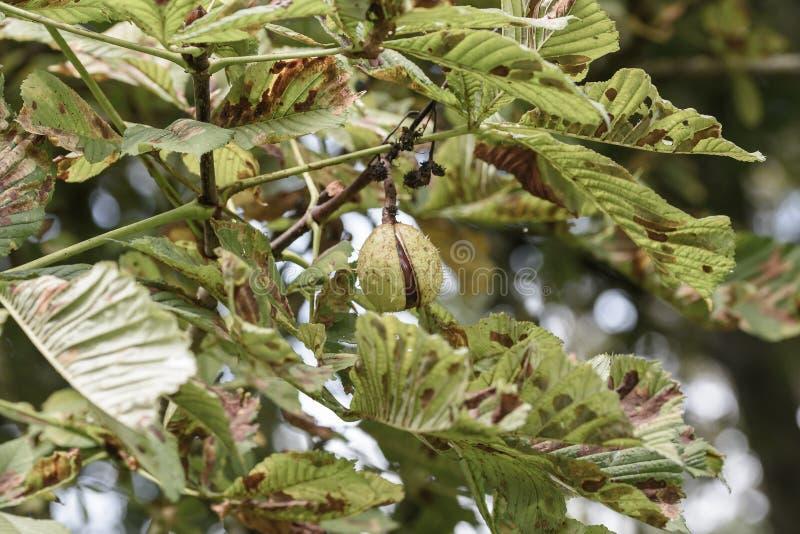 Плодоовощ дерева конского каштана раскрывая d стоковое фото