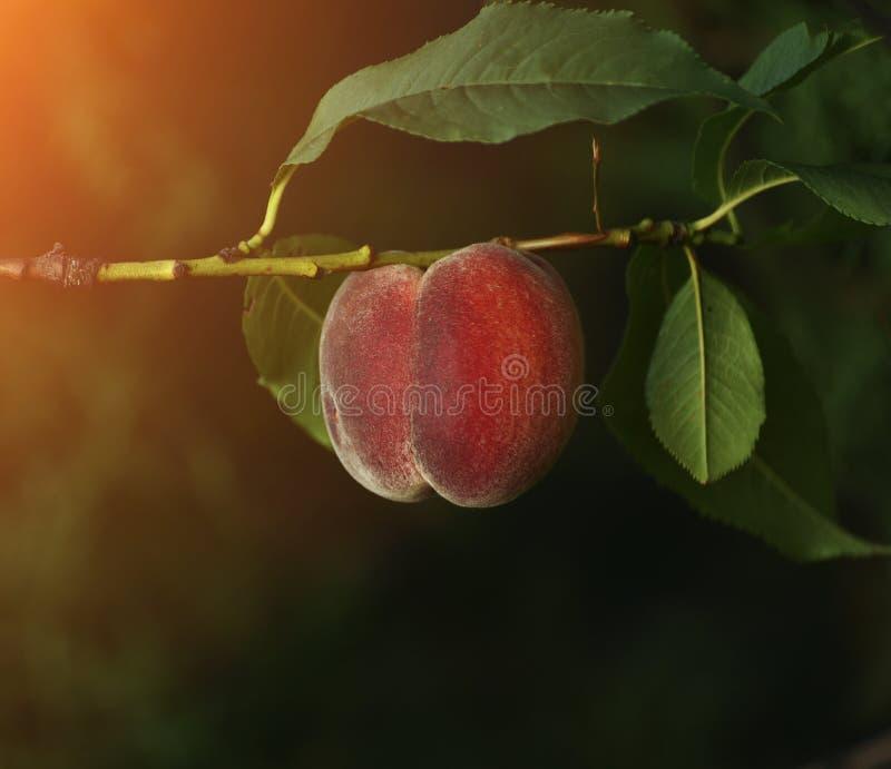 Плодоовощ зрелого персика на ветви стоковое фото rf