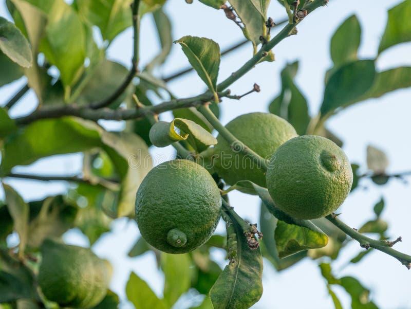 Плодоовощ известки Зрелая смертная казнь через повешение известки на дереве лимона растущая известка стоковая фотография