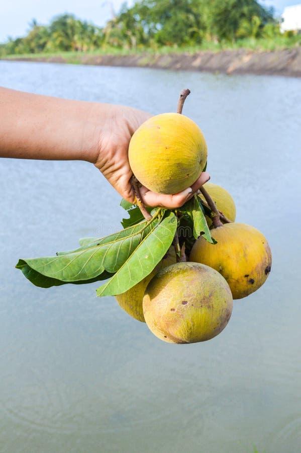 Плодоовощ и рука Santol стоковые фото