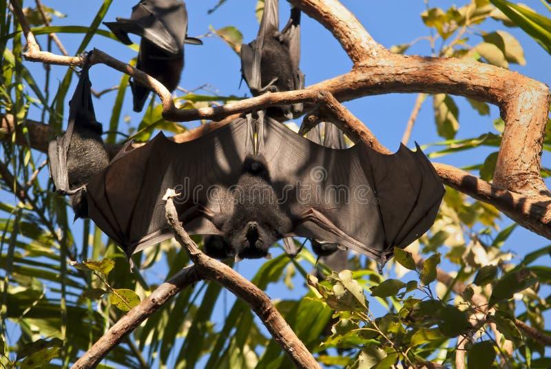 плодоовощ летучей мыши стоковые фотографии rf
