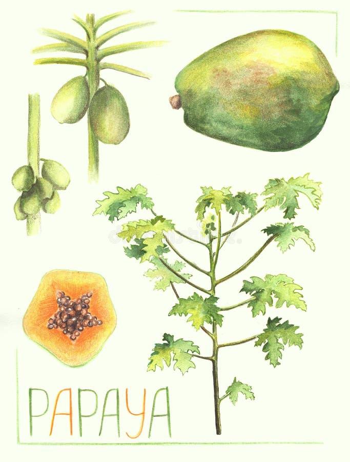 Плодоовощ папапайи и иллюстрация дерева ботаническая Handdrawn вегетация завода папапайи иллюстрация штока