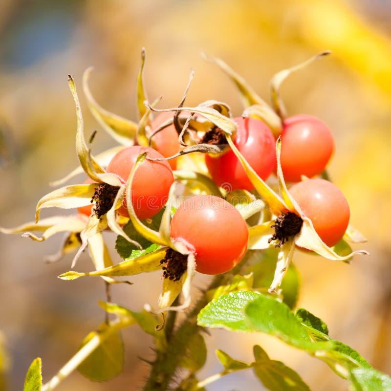 плодоовощ Собак-Розы стоковая фотография rf