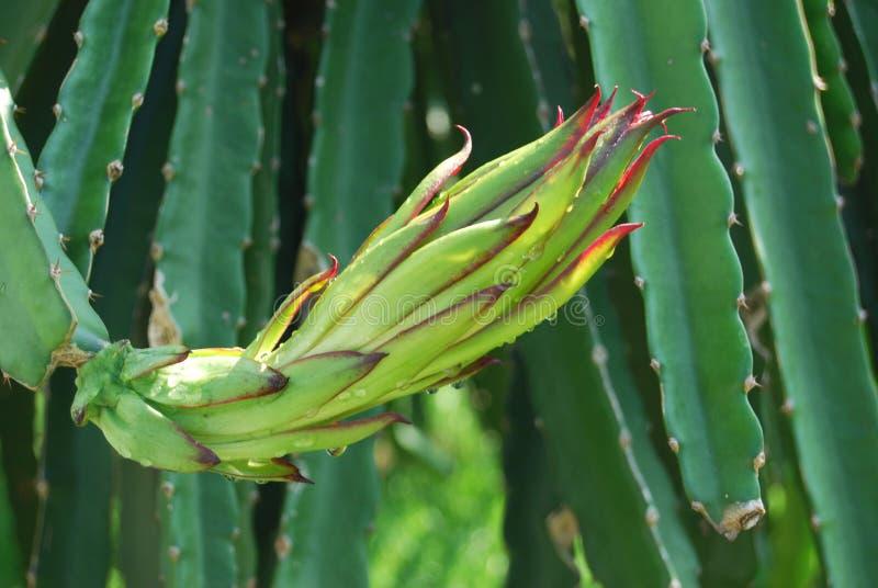 плодоовощ цветка дракона стоковые фото