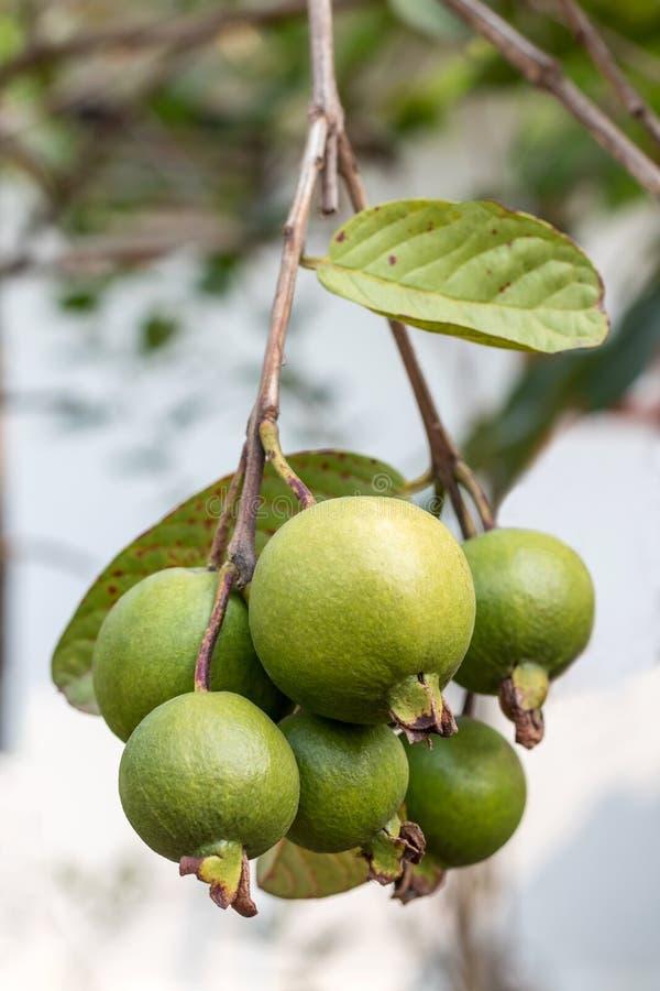 Плодоовощ Guava вися пук стоковые изображения rf