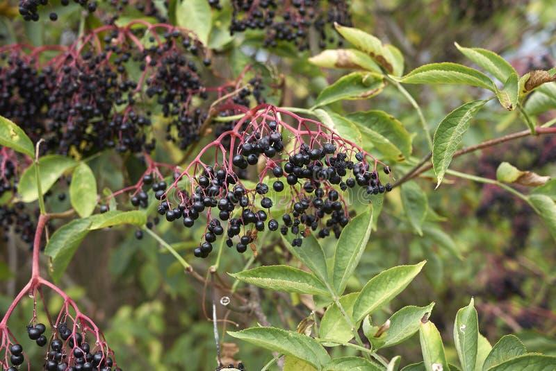 Плодоовощ Nigra Sambucus стоковое фото