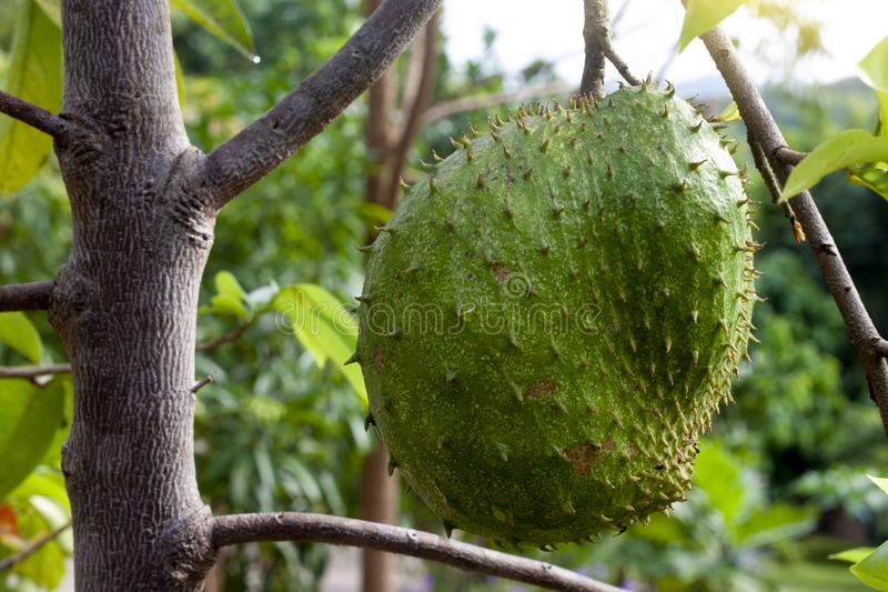 Плодоовощ Soursop на дереве стоковые фотографии rf