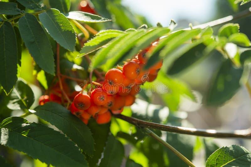 Плоды калины на кусте в саде стоковые фото