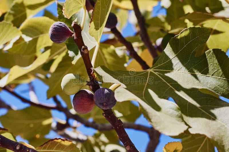 Плоды смоквы на ветви дерева стоковые изображения