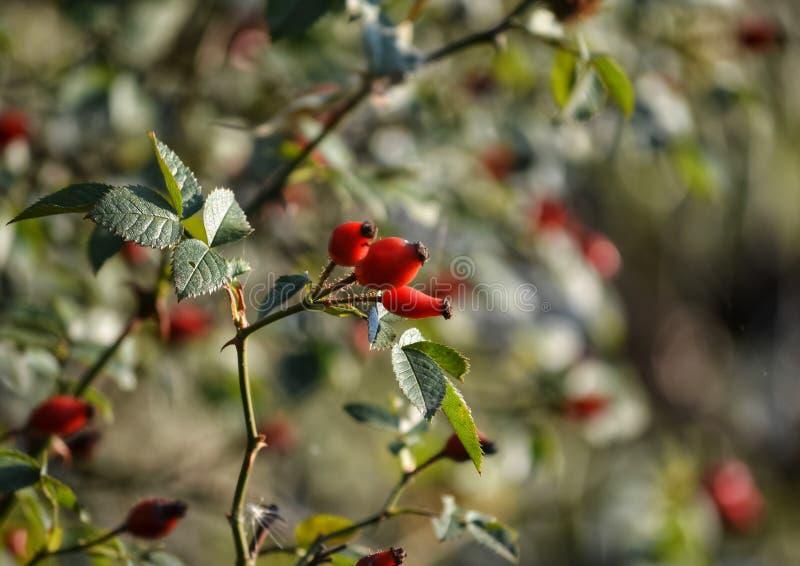 Плоды шиповника в осени стоковое изображение rf