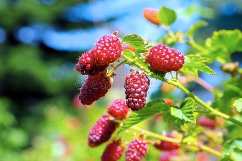 Плоды Tayberry на заводе в саде стоковое изображение