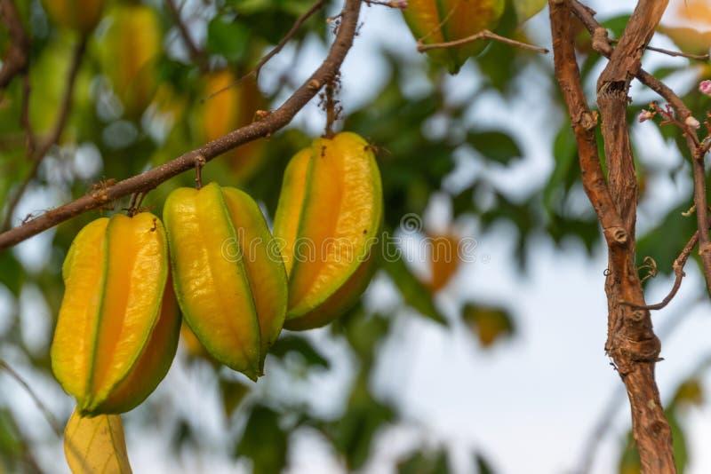 Плод звезды, яблоко звезды, карамбола, карамбола Averrhoa, плод в Таиланде стоковое изображение rf