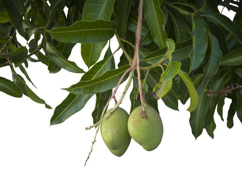 Плод манго на дереве изолированном на белом backgroun стоковая фотография
