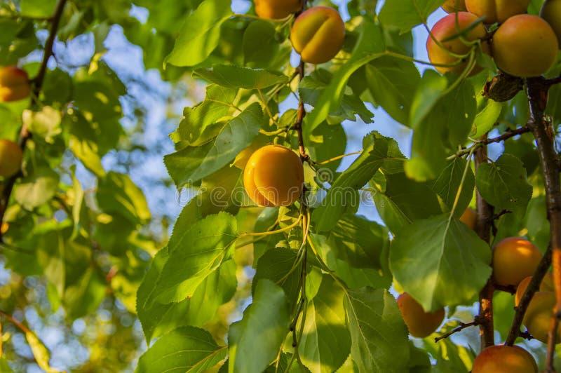Плод персика на ветви дерева на солнечный день стоковая фотография rf