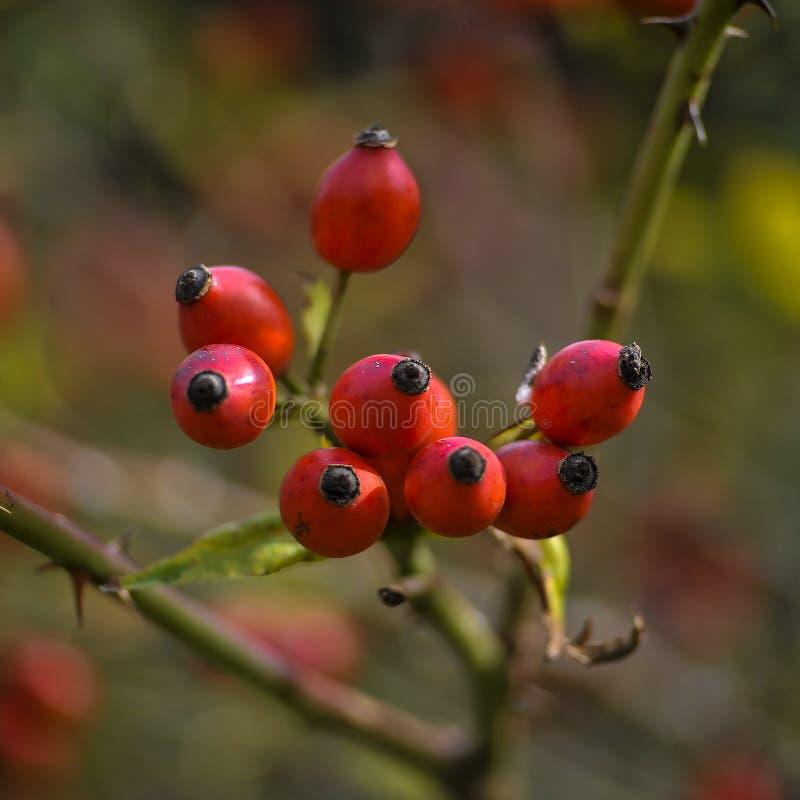 Плод шиповника Ветвь Brier Высокий конец-вверх разрешения стоковое фото