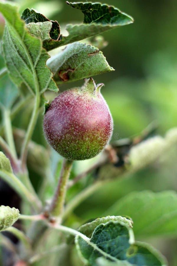 Плод Яблока стоковое фото rf