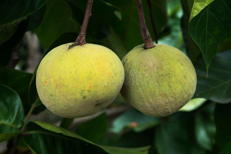 Плод Santol на дереве стоковое изображение rf