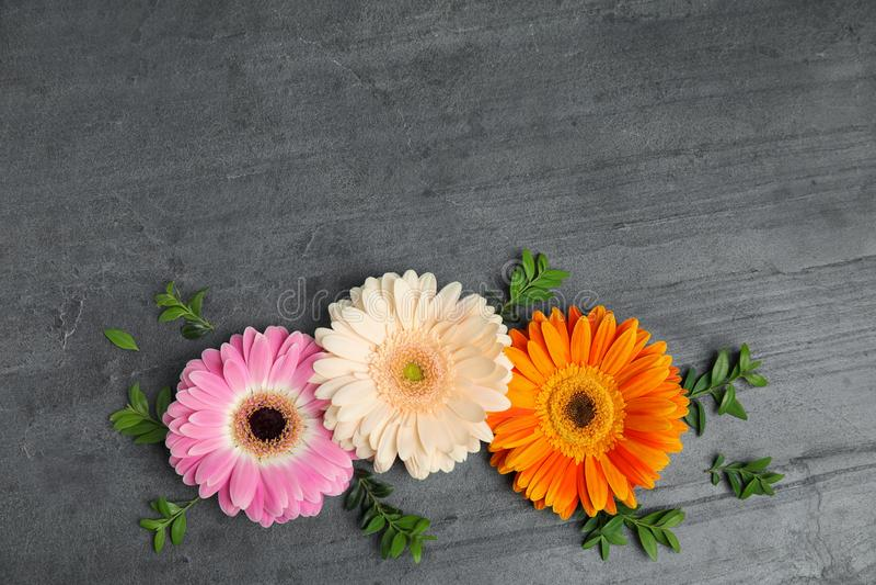 Плоский положенный состав с красивыми яркими цветками gerbera на серой предпосылке, взгляде сверху стоковая фотография rf
