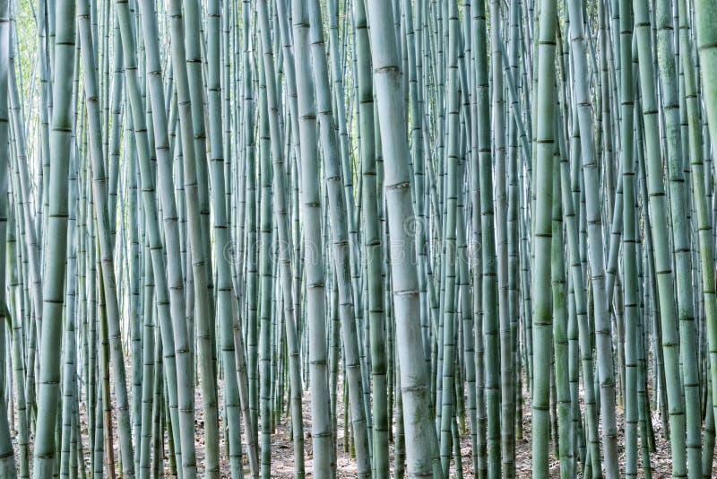 Плотная бамбуковая роща стоковое фото