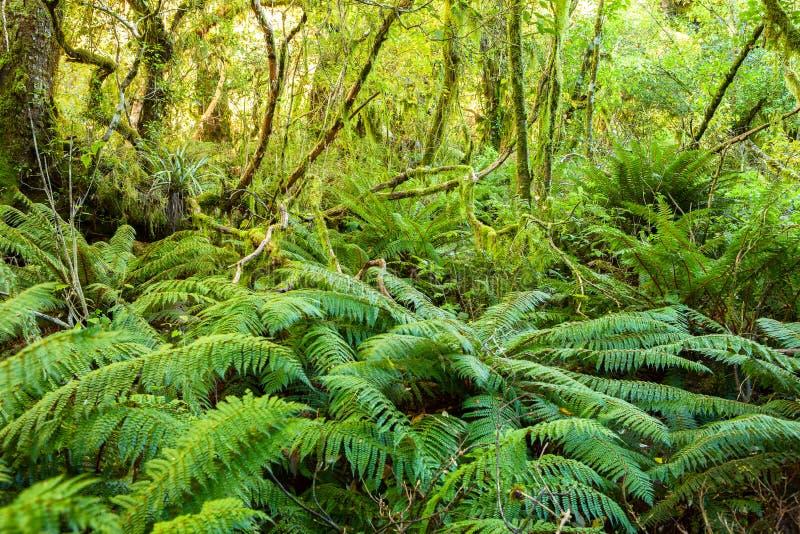 Плотная чаща в воздержательном тропическом лесе, южный остров, Новая Зеландия стоковая фотография rf