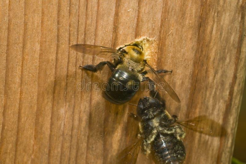 плотник пчелы выкапывая женское гнездй отверстия стоковое фото rf