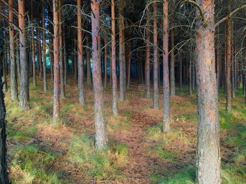 Плотный лес сосен стоковые изображения rf