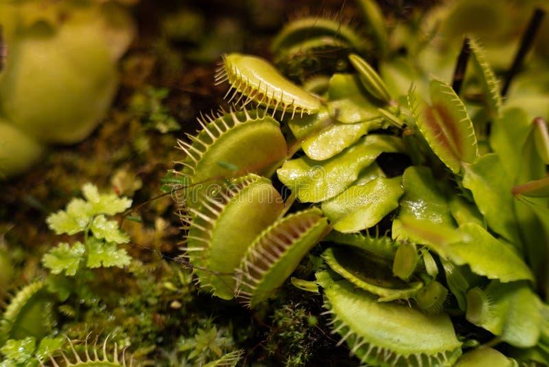 Плотоядная муха Венеры поглощает muscipula Dionaea и заводы capensis Drosera Sundews делают пищеварительные ферменты секретным s  стоковая фотография rf