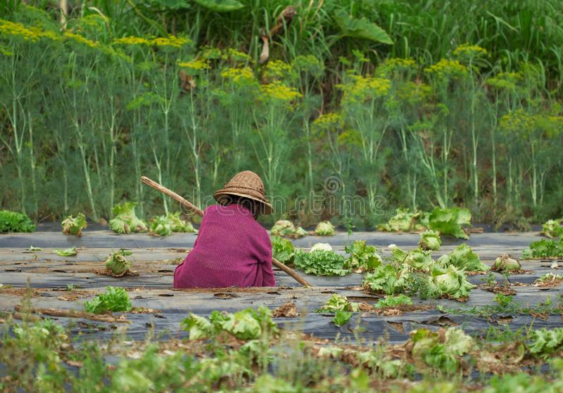 Плохая старая азиатская деятельность фермера женщины стоковые фотографии rf