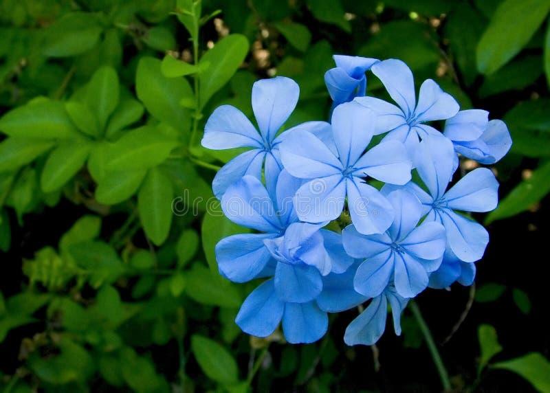 плумбаго Auriculata Стоковые Фото