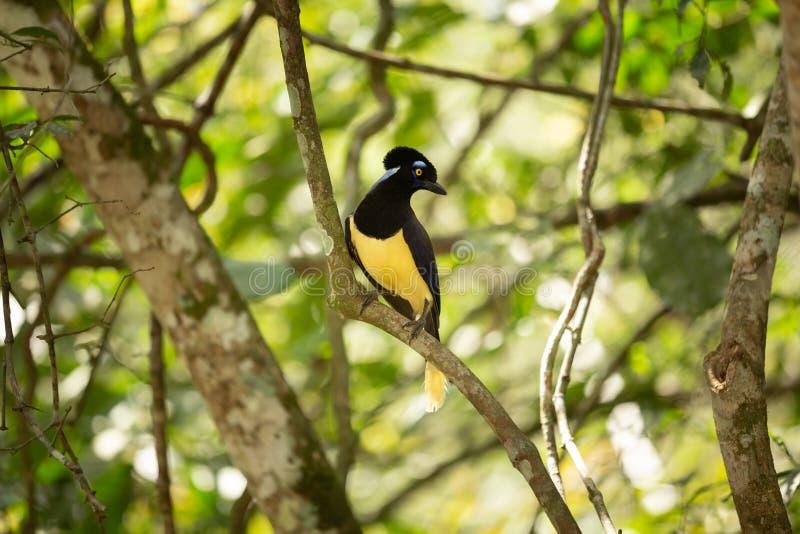 Плюш Gorgeus crested птица Джэй сидя на ветви в тропическом лесе стоковые фото