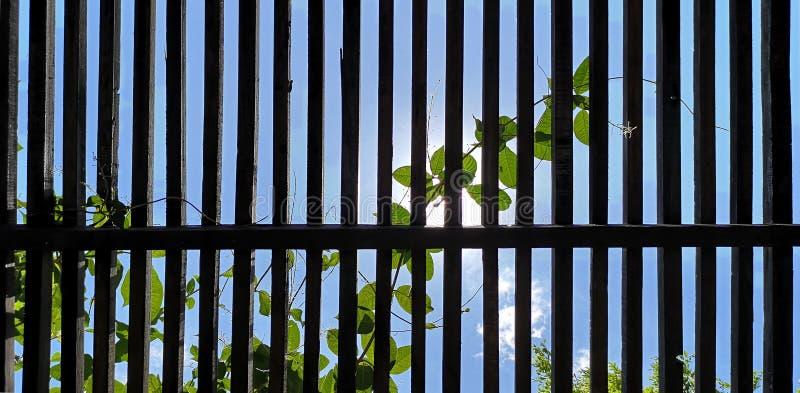 плющ взбираясь вверх решетины, голубой sk стоковое изображение