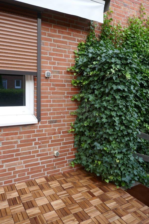 Плющ, винтовая линия hedera, вечнозеленый взбираясь завод растет вверх на кирпичной стене стоковое изображение rf