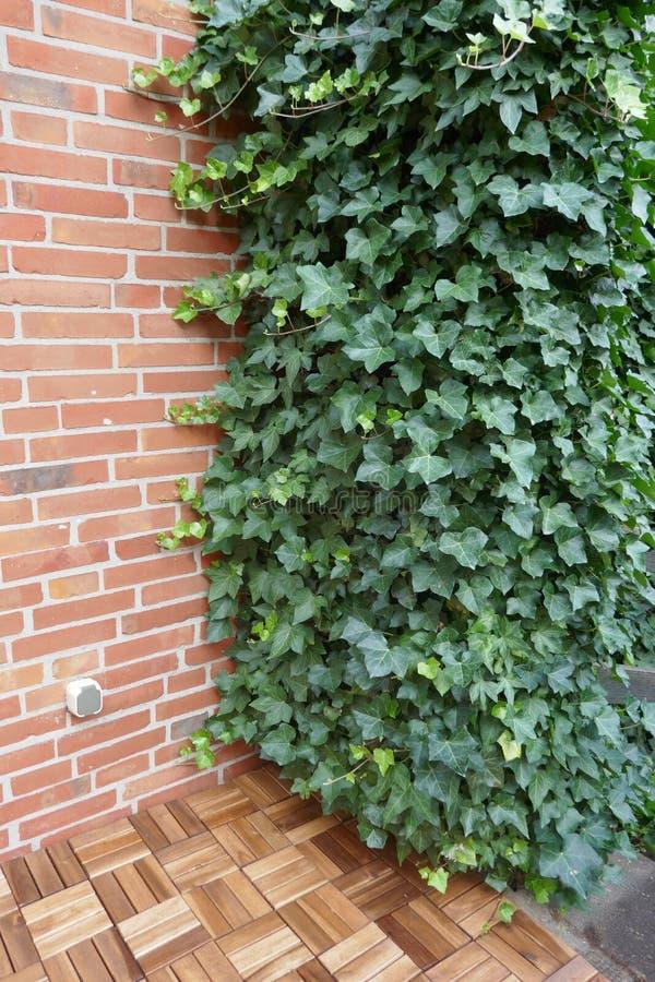 Плющ, винтовая линия hedera, вечнозеленый взбираясь завод растет вверх на кирпичной стене стоковое фото