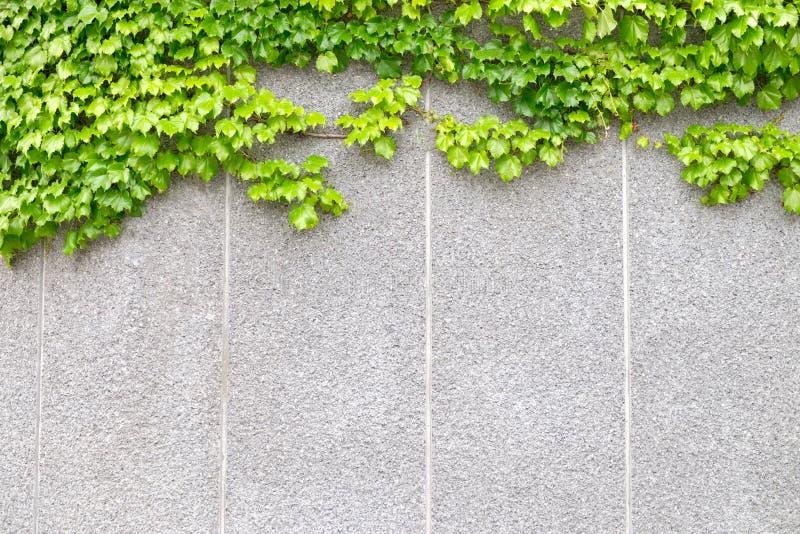 Плющ который растет на каменной стене стоковое изображение