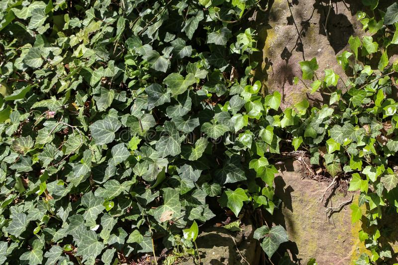 Плющ кустарники проползать льнуть к их adventitious корням стен стоковое изображение rf
