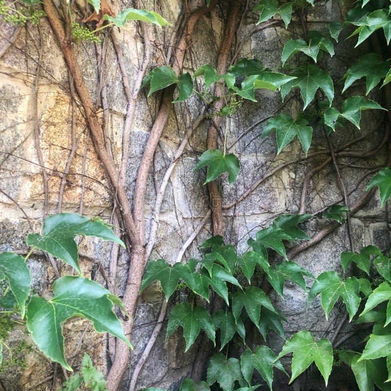 плющ предпосылки общий со старой стеной замка стоковые изображения rf