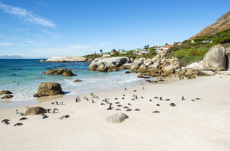 Пляж с пингвинами Jackass, Южная Африка Больдэра стоковые изображения
