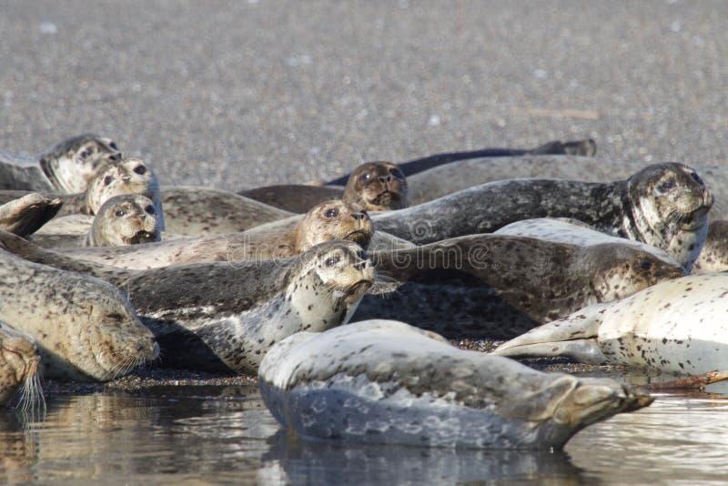 Пляж утеса козы - северозападное Sonoma County, Калифорния, уплотнения на рте русского реки, и южном конце t стоковая фотография