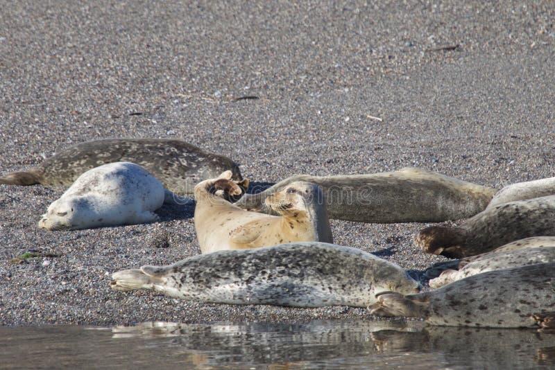 Пляж утеса козы - северозападное Sonoma County, Калифорния, уплотнения на рте русского реки, и южном конце t стоковые фото