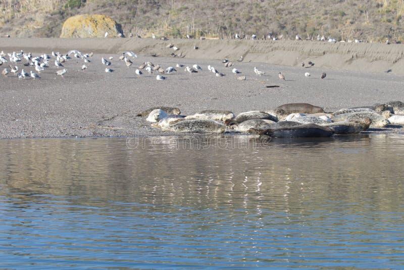 Пляж утеса козы - северозападное Sonoma County, Калифорния, уплотнения на рте русского реки, и южном конце t стоковое фото