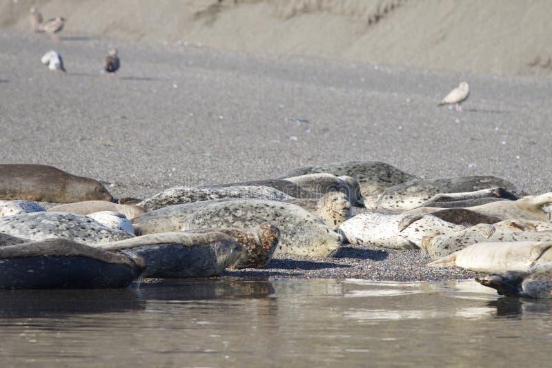 Пляж утеса козы - северозападное Sonoma County, Калифорния, уплотнения на рте русского реки, и южном конце t стоковое изображение rf